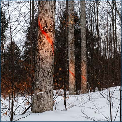 northern hardwoods carefully plan each harvest